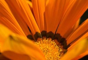 Garten und Balkonpflanzen - Mittagsgold 02 von Steffen Hopf.