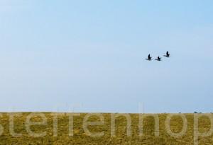 Zugvögel Drei Ringelgänse